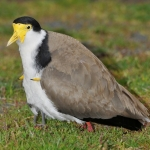 Spur Wing Lapwing
