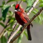 Red Crested Finch
