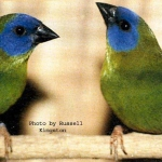 Blue Faced Parrot Finch