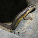 Goldfields Crevice Skink