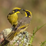619-Yellow-tufted-Honeyeater,WestNowra,NSW-25-1-13-4-L